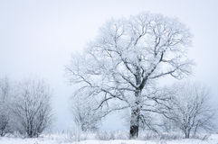 Gefrorener Baum auf dem schneebedeckten nebeligen Gebiet Lizenzfreie Stockfotografie