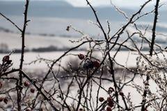 Gefrorener Briar im Schneelager Stockfotografie