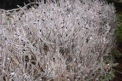 Gefrorener Busch und eisiger Regen Stockbild