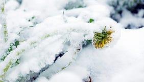 Gefrorener gelber Löwenzahn bedeckt mit Schnee nach Blizzard Stockbild