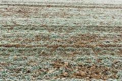 Gefrorener junger Weizen erntet auf dem landwirtschaftlichen Gebiet, das mit fros umfasst wird Lizenzfreie Stockbilder