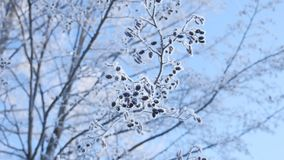 Gefrorener NiederlassungsLindenbaum im Schnee auf einem Naturlandschaftswinter des blauen Himmels stock video footage