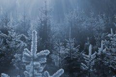 Gefrorener Tannenwald Stockfotos