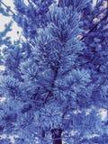 Gefrorener Weihnachtsbaum der Winterkiefernniederlassung mit weißen Nadeln lizenzfreie stockfotos