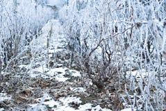 Gefrorener Weinberg im Winter Stockbilder