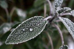 Gefrorenes Blatt des Salbeis (salvia, Folium Salviae) mit gefrorenem Tautropfen lizenzfreie stockfotos