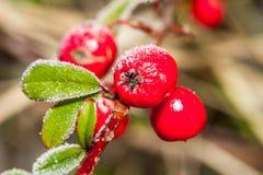 Gefrorenes Stechpalme berrie stockfotos