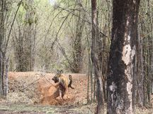 Gefrustreerde tijger royalty-vrije stock afbeelding