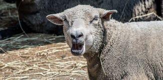 Gegähne-Schafe Lizenzfreie Stockfotos