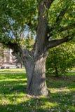 Gegabelter Stamm einer alten Eiche im Yard von Moskau-staatlicher Universität, Russland Stockfotos