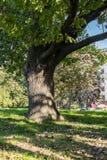 Gegabelter Stamm einer alten Eiche im Yard von Moskau-staatlicher Universität, Russland Lizenzfreie Stockfotos
