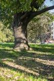 Gegabelter Stamm einer alten Eiche im Yard von Moskau-staatlicher Universität, Russland Stockbild