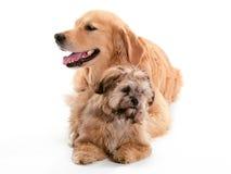 Gegenüberliegende schauende Hunde Stockfotografie