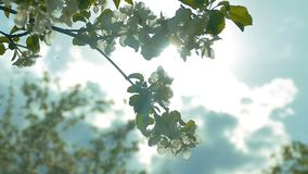 Gegen den Hintergrund der Sonne blüht der Apfel Zeitlupevideo stock video
