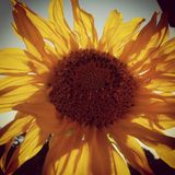 Sunny Sunflower. Gegen die Sonne Royalty Free Stock Image