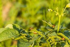 Gegeten bladeren van aardappel door de coloradokever van larvencolorado Royalty-vrije Stock Afbeelding