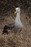 Gegolfte Albatros (Phoebastria-irrorata), de Eilanden van de Galapagos Stock Foto's