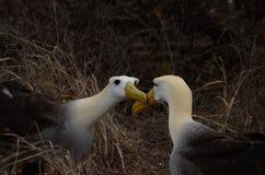 Gegolfte Albatros (Phoebastria-irrorata), de Eilanden van de Galapagos Stock Afbeeldingen