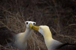 Gegolfte Albatros (Phoebastria-irrorata), de Eilanden van de Galapagos Royalty-vrije Stock Afbeelding