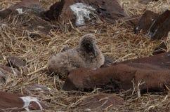 Gegolfte Albatros (Phoebastria-irrorata), de Eilanden van de Galapagos Royalty-vrije Stock Afbeeldingen