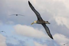 Gegolfte Albatros tijdens de vlucht - het Eiland van de Galapagos stock foto
