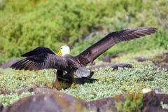 Gegolfte albatrossen die vrijageritueel op Espanola-Eiland, het Nationale park van de Galapagos, Ecuador doen stock afbeelding