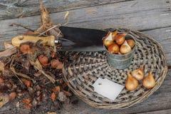 Gegraven tulpenbollen na de vegetatieperiode en tuinduw en Ta Stock Fotografie