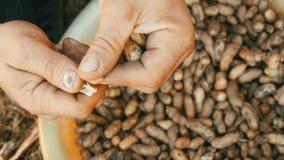 Gegraven uit de grondpinda's in shell De mannelijke handen scheiden pindashell van de zaden stock videobeelden