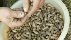 Gegraven uit de grondpinda's in shell De mannelijke handen scheiden pindashell van de zaden stock video