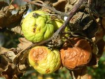Gegroefde appelen Stock Foto