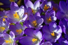 Gegroepeerde krokussen purpere bloei Stock Afbeelding