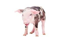 Gegrom weinig varken stock afbeelding