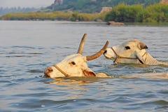 Gehörnte Kühe schwimmen über dem Fluss in Indien stockbild