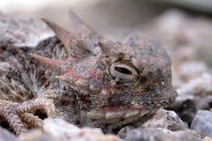 Gehörnte Kröten-Eidechse Stockfotografie