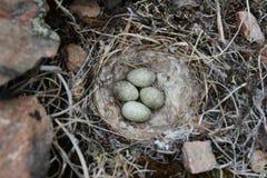 Gehörnte Lerche u. x28; oder Ufer lark& x29; Nest unter Weide Lizenzfreie Stockfotografie