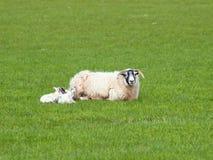 Gehörnte Schafe und kleines Lamm zwei, die auf der Weide liegt Lizenzfreie Stockfotografie