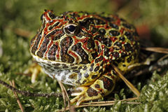 Gehörnter Frosch Stockbild