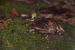 Gehörnter Frosch Lizenzfreie Stockbilder