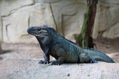 Gehörnter Leguan 2 Lizenzfreies Stockfoto