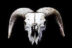 Gehörnter Ram Sheep Skull Head On-Schwarz-Hintergrund Stockfoto