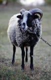 Gehörntes RAM Lizenzfreie Stockfotos