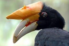 Gehörntes toucan Stockfoto