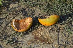 Gehackte alte faule Melone Ein verlassenes Feld von Wassermelonen und von Melonen Faule Wassermelonen Überreste der Ernte der Mel Stockbild