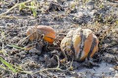 Gehackte alte faule Melone Ein verlassenes Feld von Wassermelonen und von Melonen Faule Wassermelonen Überreste der Ernte der Mel Lizenzfreie Stockfotografie