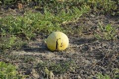 Gehackte alte faule Wassermelone Ein verlassenes Feld von Wassermelonen und von Melonen Faule Wassermelonen Überreste der Ernte d Stockbild
