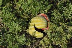 Gehackte alte faule Wassermelone Ein verlassenes Feld von Wassermelonen und von Melonen Faule Wassermelonen Überreste der Ernte d Lizenzfreie Stockbilder