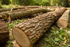 Gehackte Bäume stockbilder