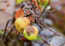 Gehagelter Apfel Stockbild