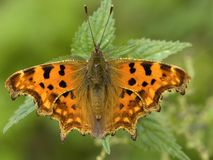 Gehakkelde aurelia, Comma Butterfly, Polygonia c-album stock photos