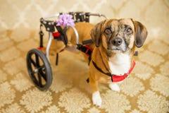 Gehandicapt Chihuahua-Portret Royalty-vrije Stock Fotografie